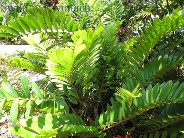 Roślina doniczkowa Zamiokulkas zamiolistny