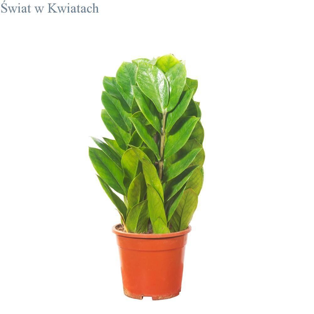 Zamiokulkas zamiolistny (Zamioculcas zamiifolia)