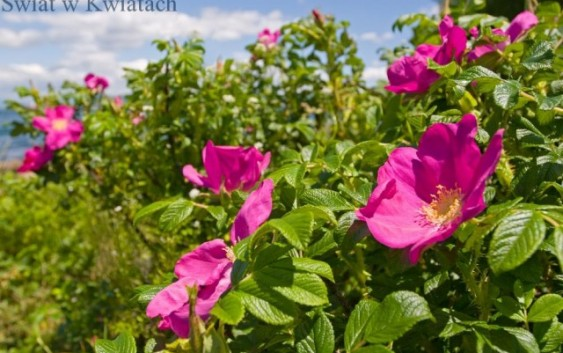 Dzika róża jej właściwości, zbiór i przetwory