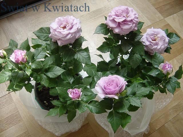 róże doniczkowe fioletowe