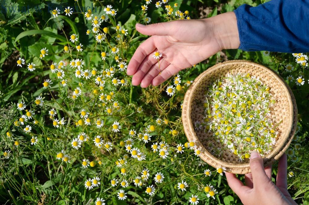 zbiór zioła rumianka