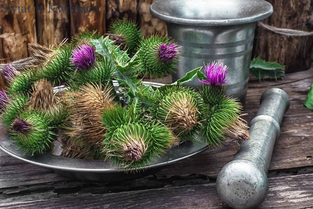 kolczaste pąki ostu wykorzystywane jako zioła w medycynie lekarskiej