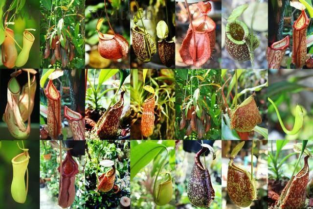 Dzbanecznik (Nepenthes) domowa roślina owadożerna