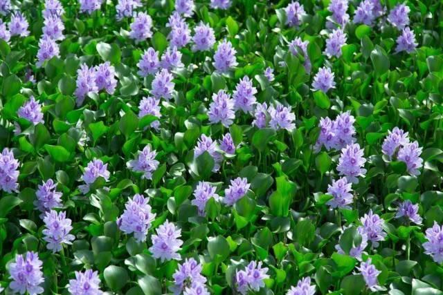 Hiacynt wodny (Eichornia gruboogonkowa)