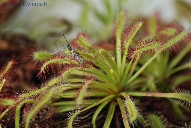 roślina owadożerna