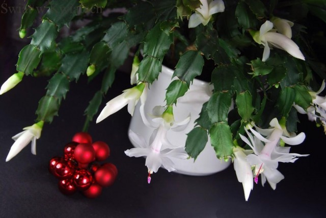 kaktus bożonarodzeniowy biały