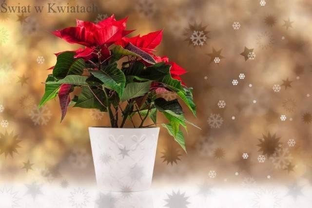 kwiat bożonarodzeniowy