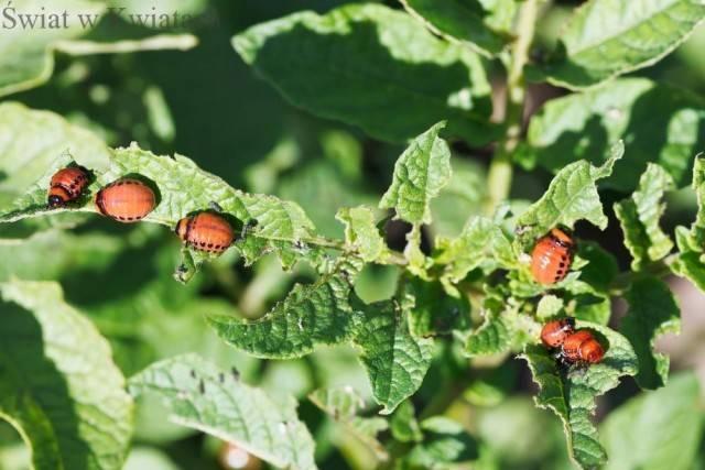 stonka zjadająca liście zieminiaka
