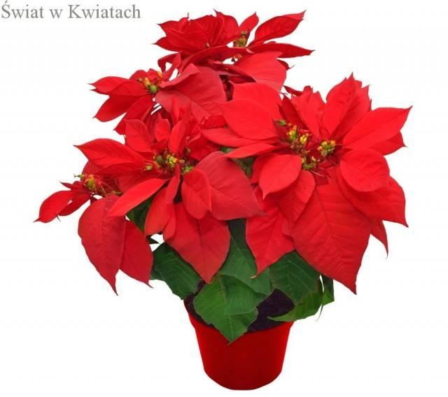 poinsecja roślina na Święta