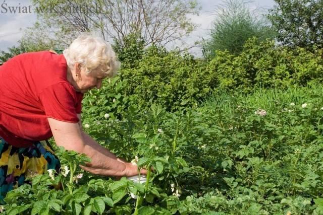 ekologiczne zwalczanie stonki ziemniaczanej