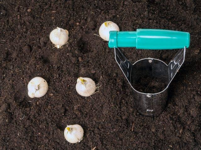 sadzenie cebulek kwiatowych jesienią