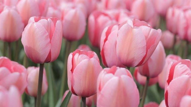 cebule kwiatowe sadzone jesienią - cebule tulipanów