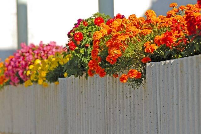 rośliny balkonowe aksamitki, danie begonie