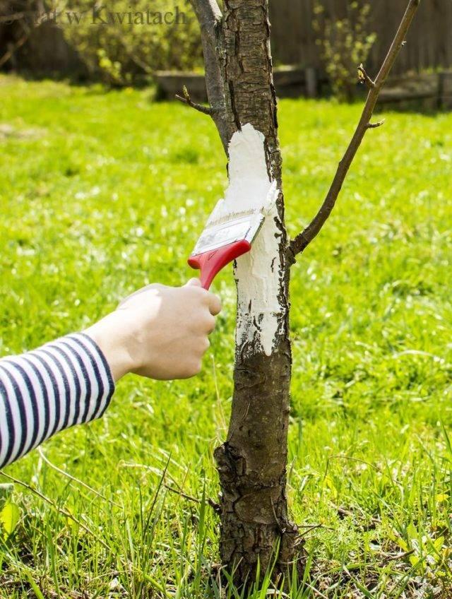 bielenie drzewek