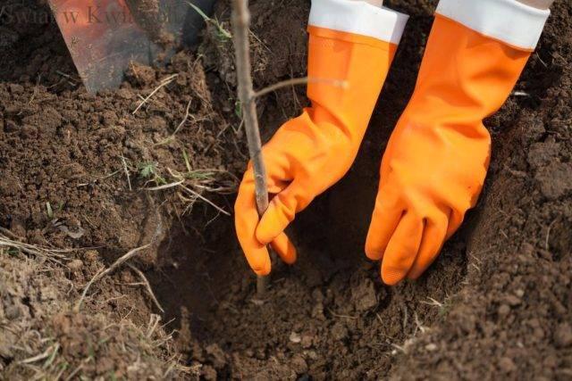 jesienne prace w sadzie sadzenie drzew