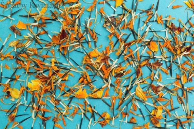 kwiaty jednoroczne siane na miejsce stałe aksamitki