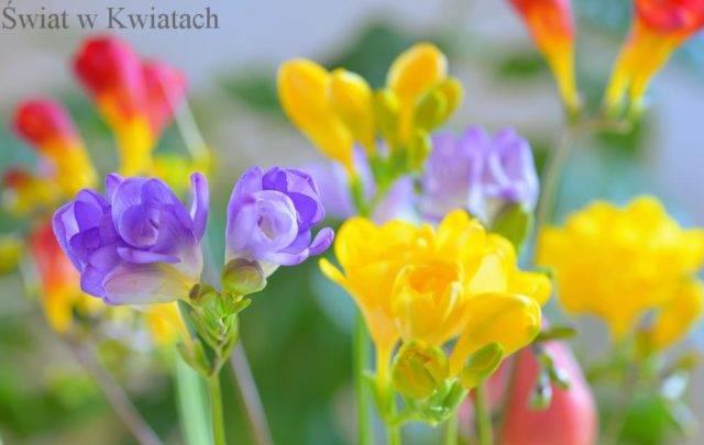 rośliny cebulowe sadzone wiosną frezje