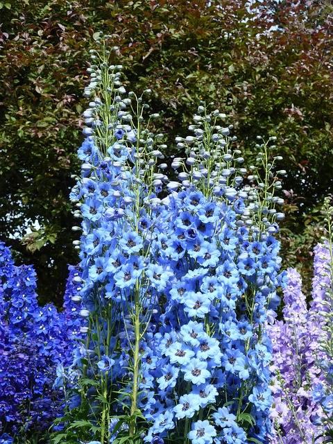 kolorowa ostróżka ogrodowa