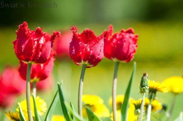 tulipany papuzie