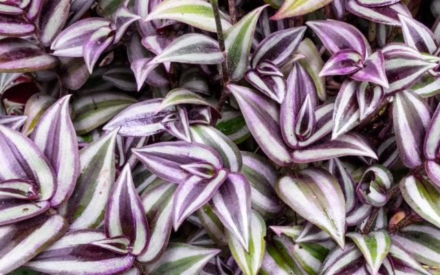 roślina trzykrotka pasiasta foto