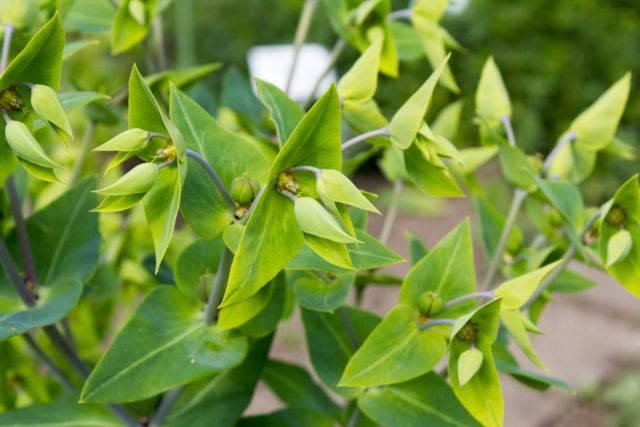 rośliny odstarszające krety Wilczomlecz groszkowy