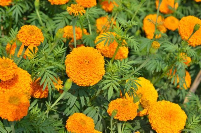 rośliny odstraszające krety aksamitki