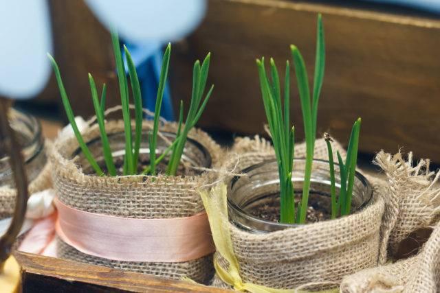rośliny z resztek - szczypiorek