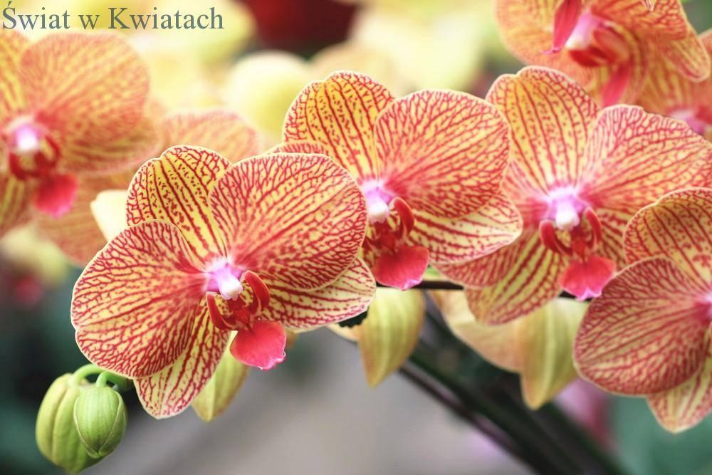 Storczyk Phalaenopsis żółto czerwony