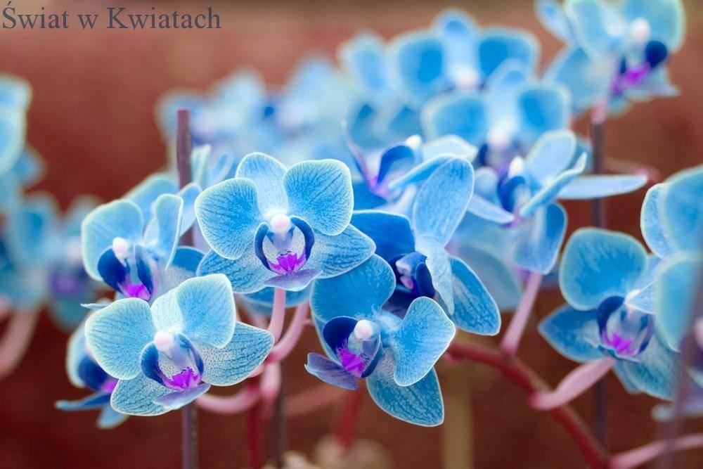 storczyk Phalaenopsis niebieski