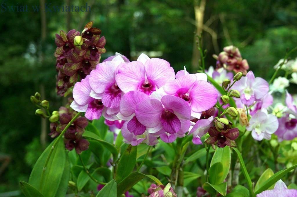 Storczyki Phalaenopsisy