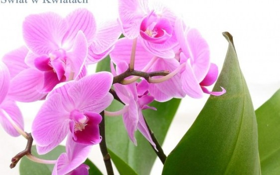 Phalaenopsis (ćmówka)