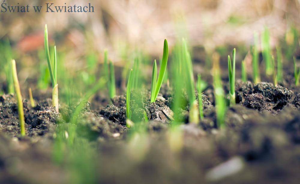 młody trawnik