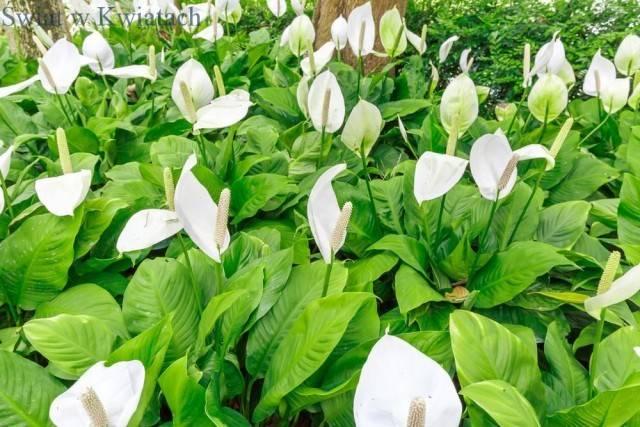 Skrzydłokwiat uprawa, wymagania i pielęgnacja