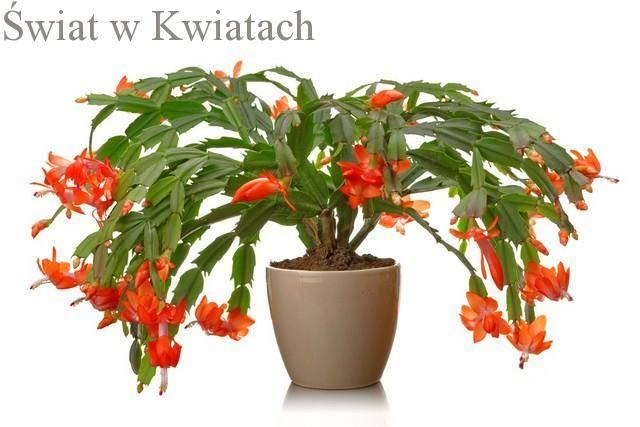 Zygokaktus, kaktus bożonarodzeniowy, grudnik uprawa i pielęgnacja