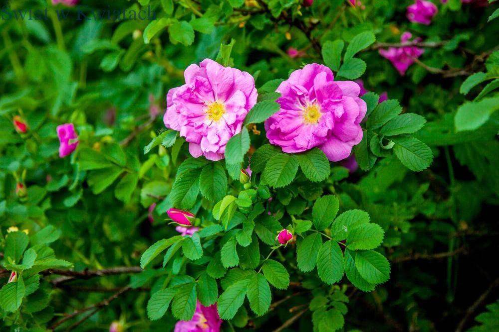 Róża dzika (Rosa canina L.)