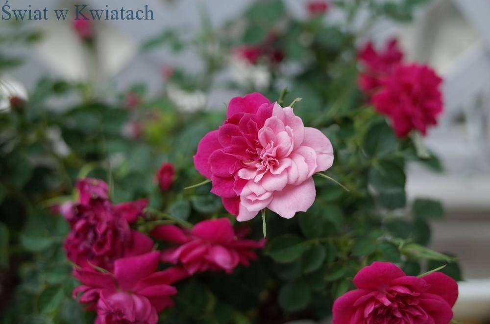 róża doniczkowa bicolor