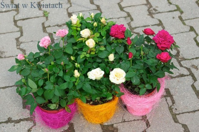 Róże doniczkowe odmiany, pielęgnacja, cena