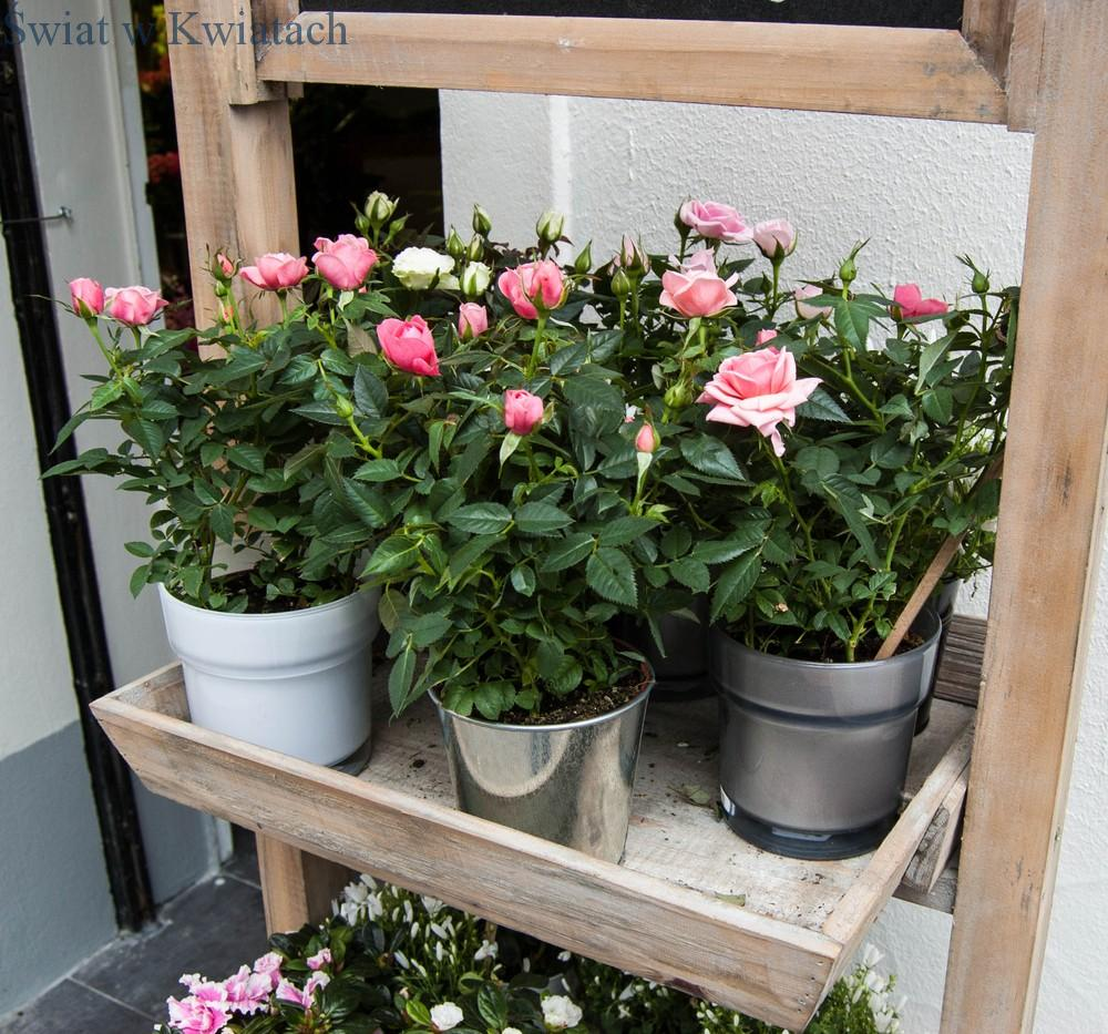 róże miniaturki