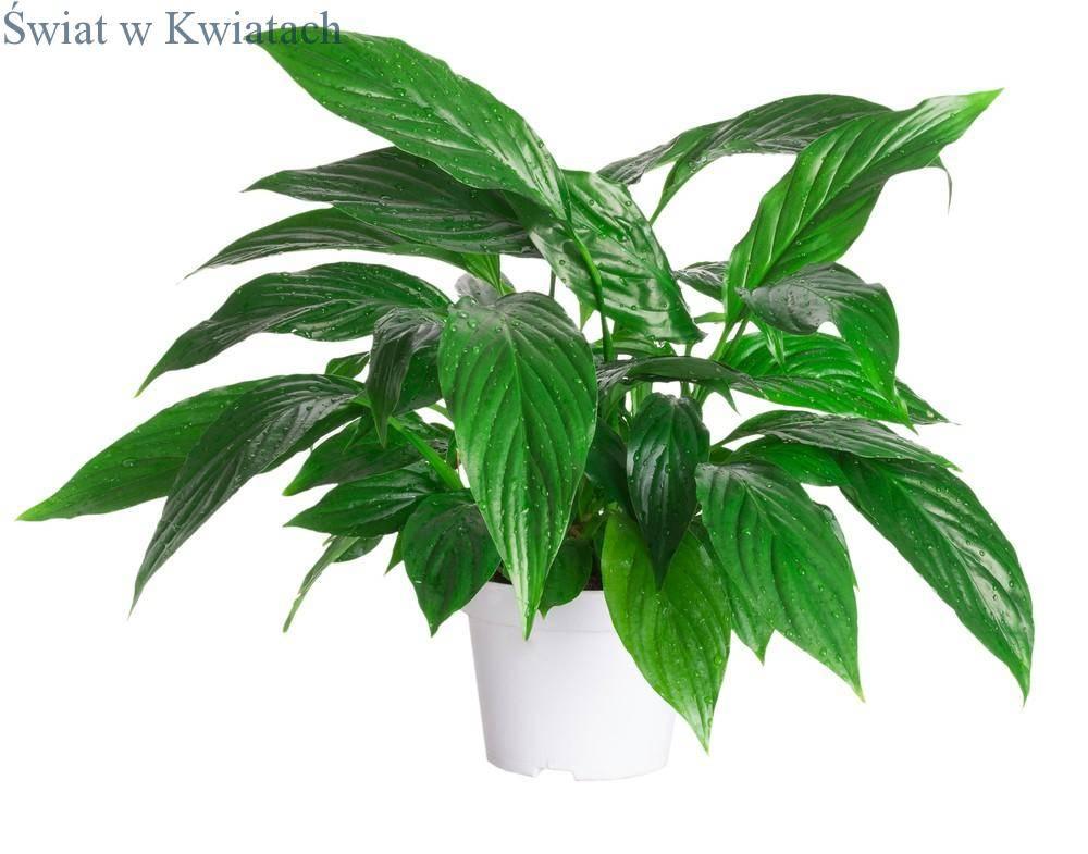 roślina doniczkowa