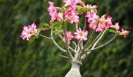 Róża pustyni (Adenium Obesum)