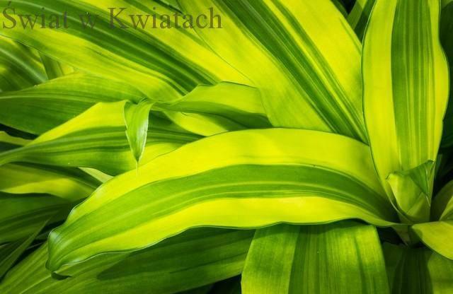 Draceny najpopularniejsze rośliny doniczkowe