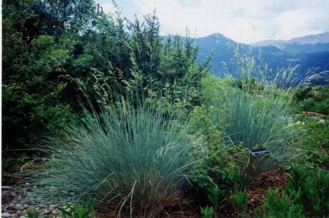 Kostrzewa sina (niebieska trawa)