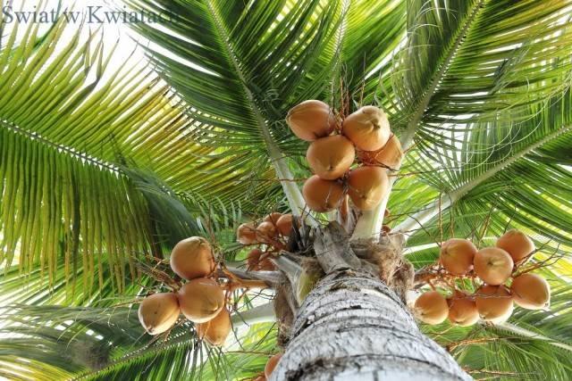 Zastosowanie i ciekawostki na temat palmy kokosowej