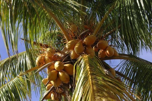 Palma kokosowa niezbyt łatwa w uprawie palma