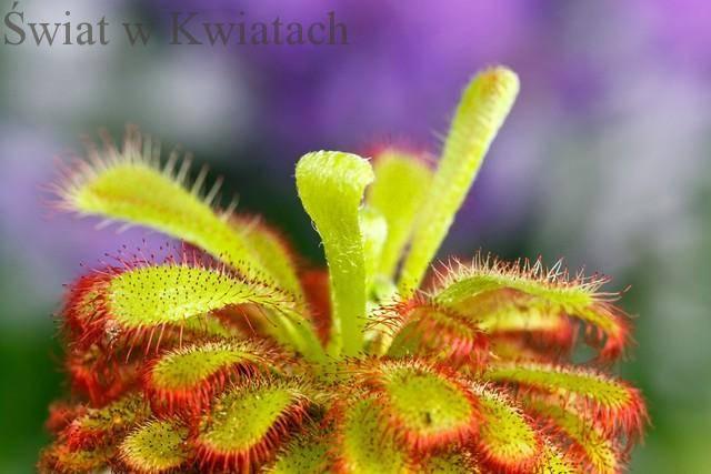 Rosiczka popularna roślina owadożerna