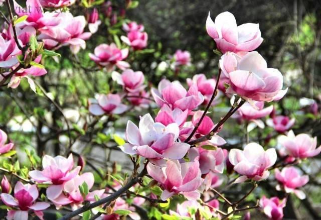 magnolia krzew