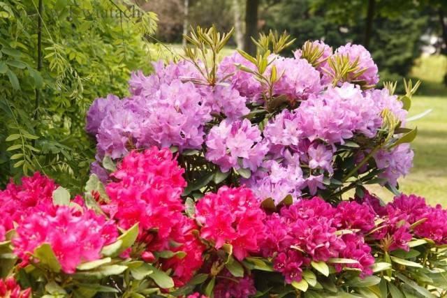 różanecznik różowy i fioletowy