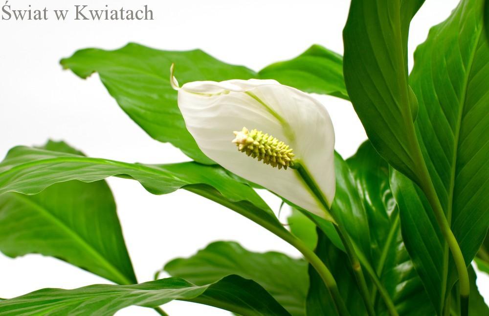 Skrzydłokwiat, skrzydłokist
