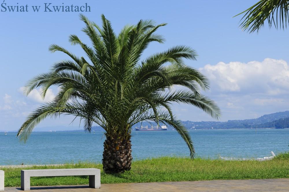 Palma Daktylowa Jedna Z Najbardziej Znanych Palm Domowych