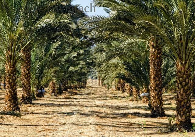 Palma daktylowa, daktylowiec Phoenix dactylifera L